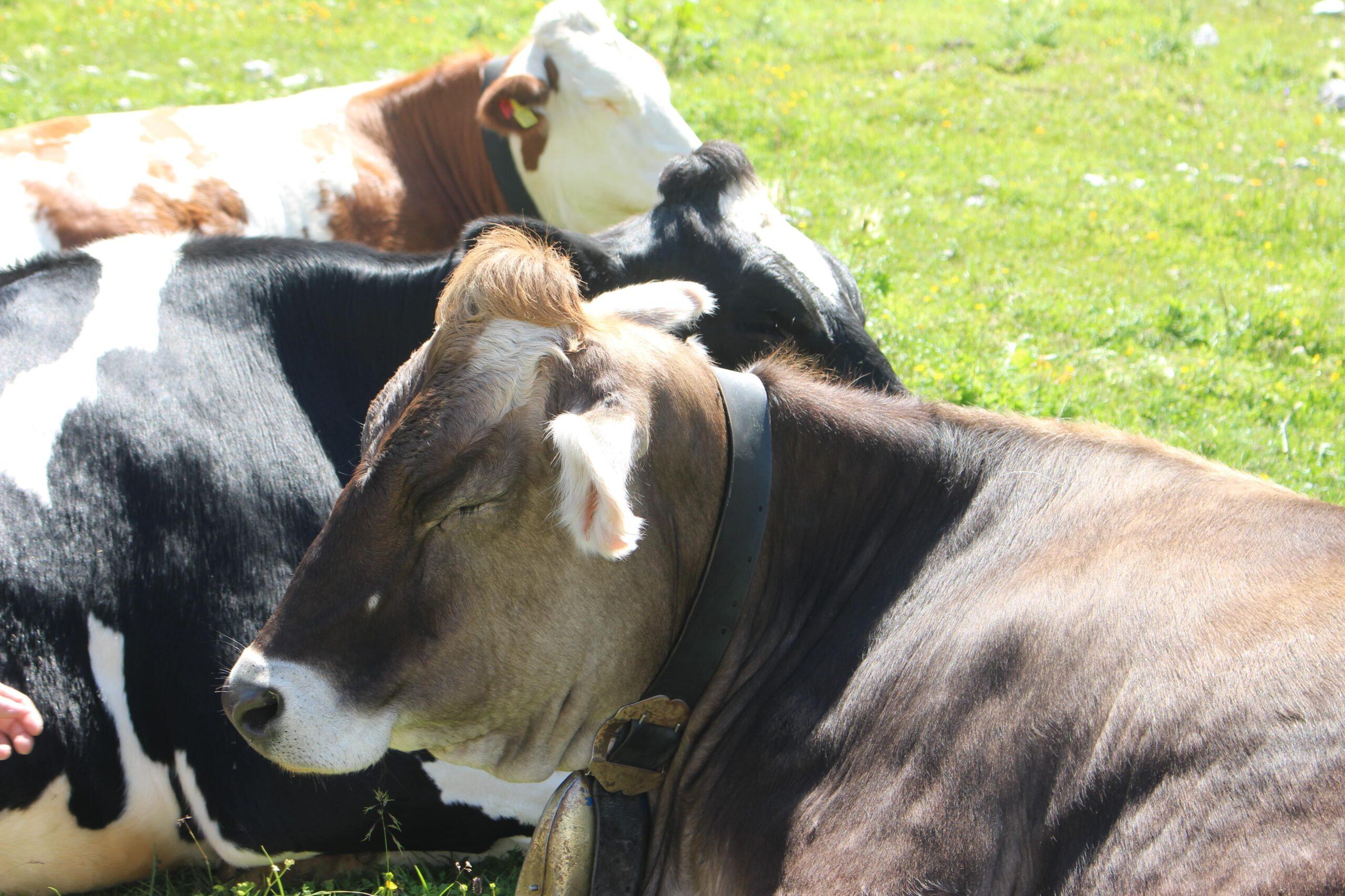 mucche tre cime di lavaredo min